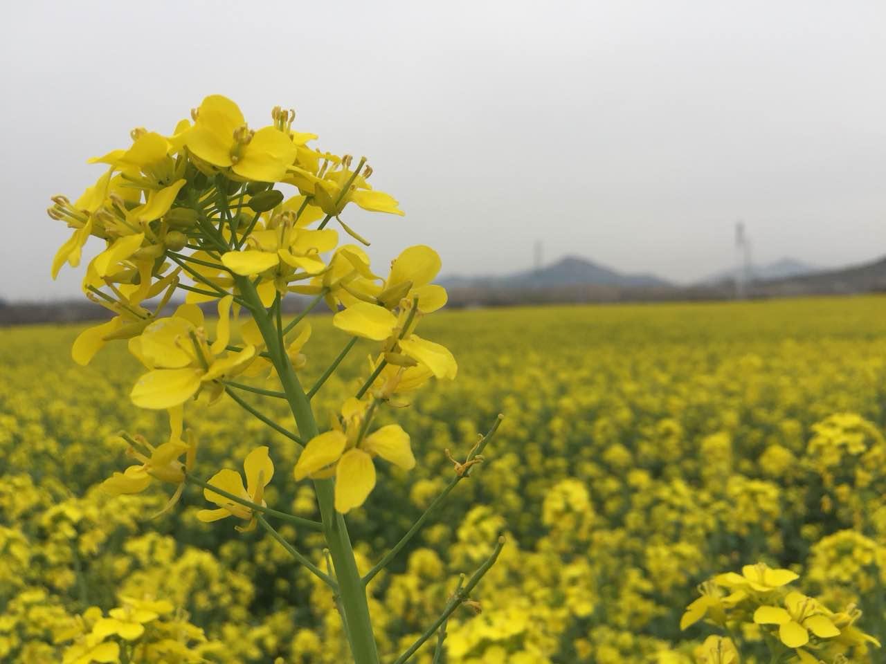 青岛西海岸千亩油菜花盛开